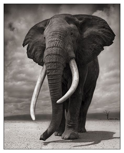 le elefant un z 232 bre bleu un 233 l 233 phant