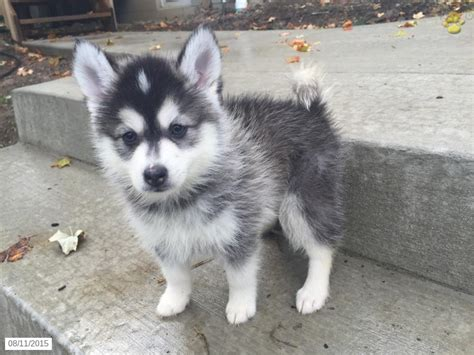 pomsky puppies for sale in pomsky puppy for sale in ohio puppy