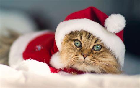 wallpaper cat christmas merry christmas wallpapers cat hd desktop wallpapers 4k hd