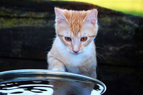How To Make Cat S Claw Drink For Detox by How Much Water Do Cats Need How To Make A Cat Drink More