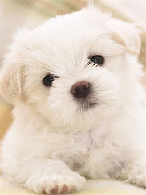 maltese puppy cute white hd dog wallpaper