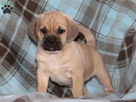 puggle puppies for sale mn 1000 ideas about puggle puppies for sale on puggles for sale puggle