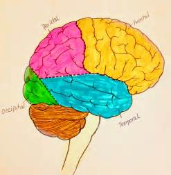Parts of the brain and their functions top view in different areas of