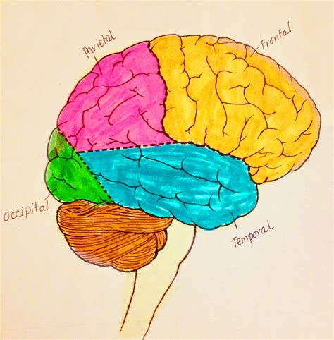 different sections of the brain parts of the brain search results calendar 2015