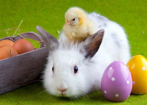 cute rabbits and chicks happy easter inotternews com