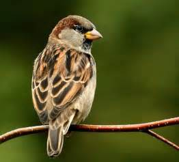My Favourite Bird Sparrow Essay by August 2011 Food A History