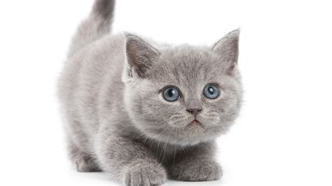 cat wallpaper grey grey kitten wallpaper hd desktop wallpaper