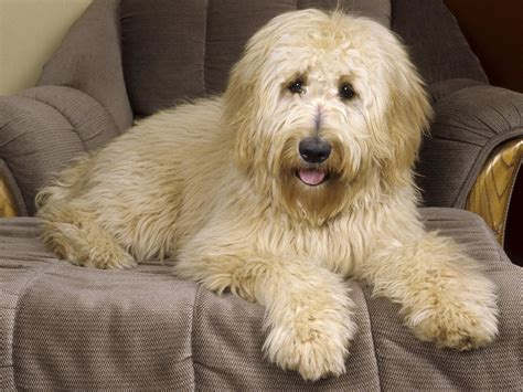 doodle pictures goldendoodle wallpapers hd wallpapers id 4870