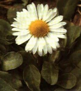 linguaggio dei fiori margherita margherita linguaggio dei fiori margherita