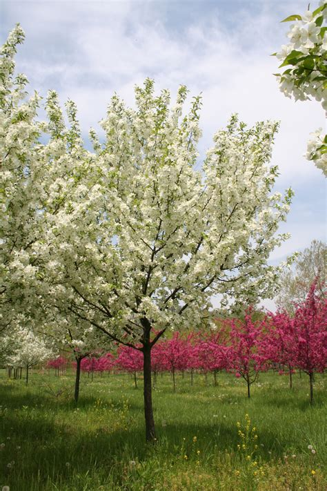 flowering tree snowdrift crabapple malus x snowdrift