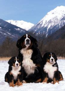 bernese mountain puppies cost bernese mountain dogs on 207 pins