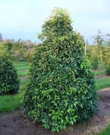 Garden Pest Control Plants - prunus lusitanica angustifolia gardening impulse