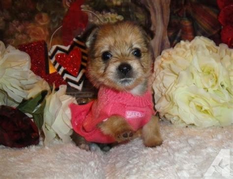 teacup pomeranian yorkie mix teacup yorkipom yorkie pomeranian mix puppy for sale in dona vista