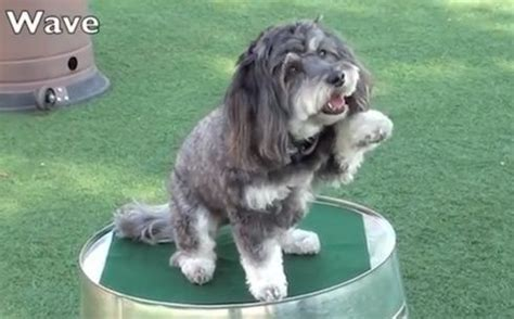 havanese therapy 295 best images about havanese on dogs shirts and view photos