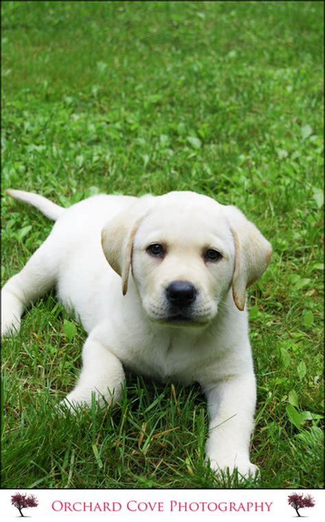 lab puppies for sale in south dakota image gallery happy yellow lab puppies