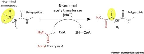 protein n terminal acetylation things vital protein marks by n terminal