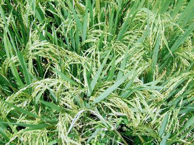 Harga Ton Nasa 3 Kg bibit padi bimasaputra pupuk organik nasa