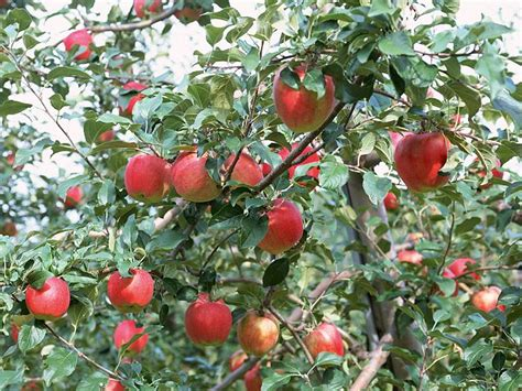 bendangfrog apple tree