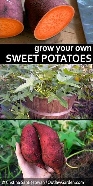 Grow Your Own Sweet Potatoes Outlaw Garden | grow your own sweet potatoes outlaw garden