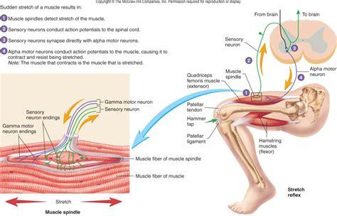 motor neuron definition gamma motoneuron
