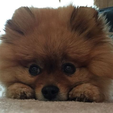 how big does a yorkie pomeranian mix get 17 best images about pomeranian pom mix on pomeranian yorkie and