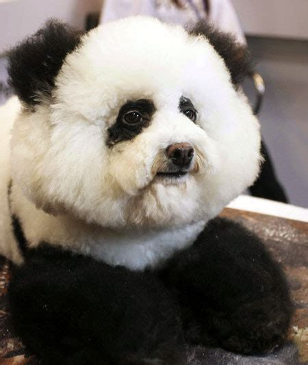 panda puppy chow chow panda breeds picture