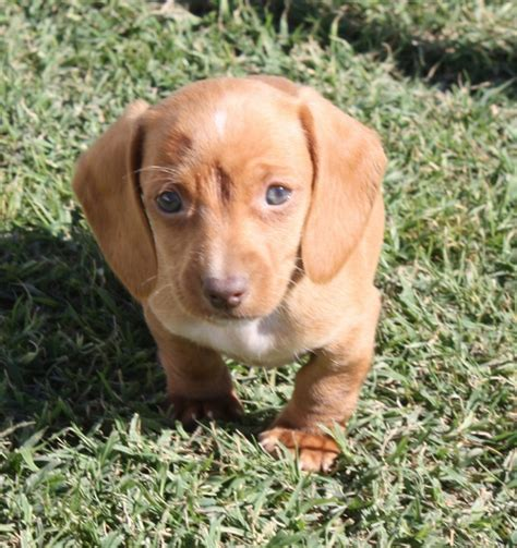 puppies okc dachshund puppies for sale in oklahoma breeds picture