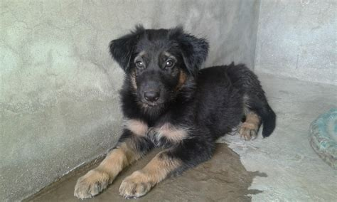 belgian shepherd puppies for sale price pets pakistan belgian shepherd puppies for sale