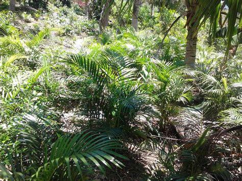 15 Benih Bunga Palmeira Areca Bambu mudas de palmeira areca bambu de 1 00mt r 15 00 em mercado livre