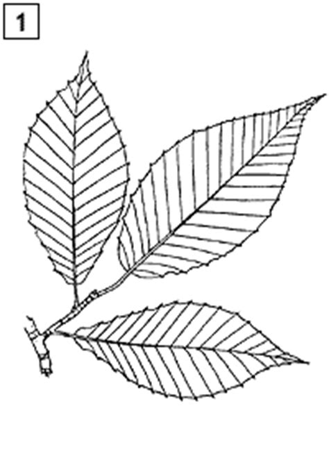 leaf identification coloring pages leaf identification chart for kids page and color the leaves
