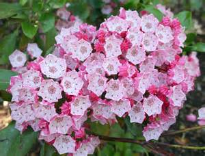 file kalmia latifolia clementine churchill jpg