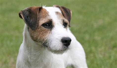 groundhog day quarry 1000 ideas about parson terriers on