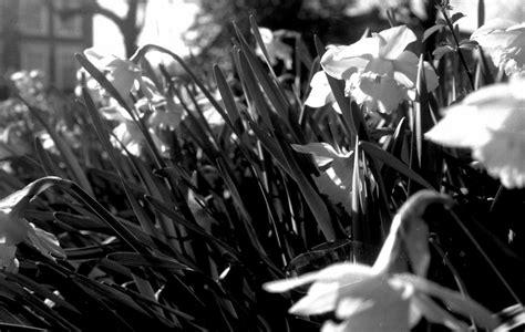 imagenes hd a blanco y negro narcisos en blanco y negro hd fondoswiki com