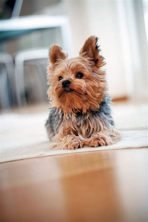 cutest yorkie yorkie names terrier names