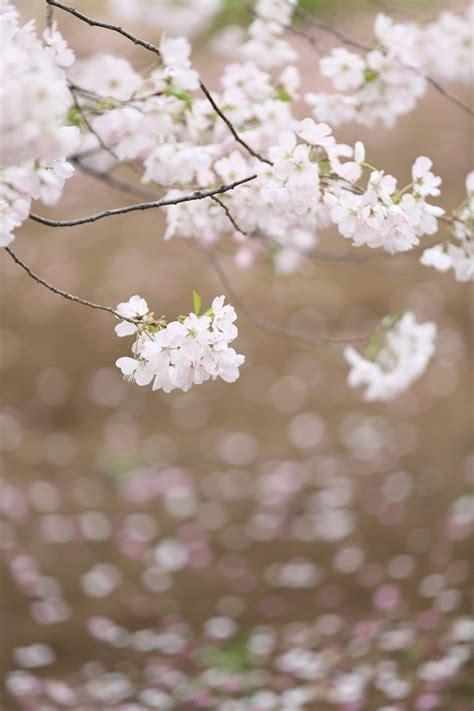 cherry blossom wallpaper  iphone  wallpapersafari