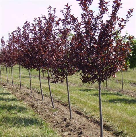 cherry tree pruning canada select cherry tree modern yard cherry tree and tree pruning