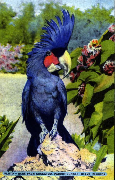 House Blue Print by Florida Memory Pluto Rare Palm Cockatoo