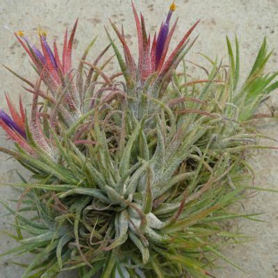 Tillandsia Blushing tillandsia ionantha planch plants of the world