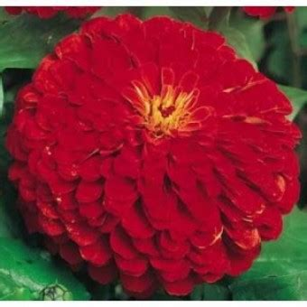 10 Benih Biji Bunga Zinnia Carpet bibit bunga zinnia cherry
