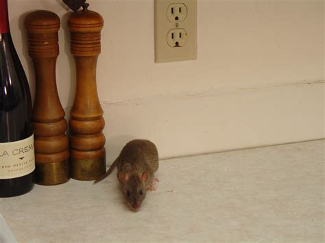 Rat Infestation Kitchen by Rodent Infestation How To Detect Signs Of Rodent Infestation