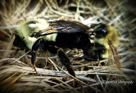 how do bed bugs mate mating bumble bees what s that bug
