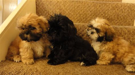imperial shih tzu puppies for sale uk half imperial shih tzu puppies for sale birmingham west midlands pets4homes