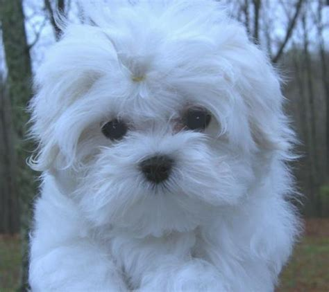 maltese puppies for sale in tn tn chion maltese breeder offers puppies for sale ritzys maltese