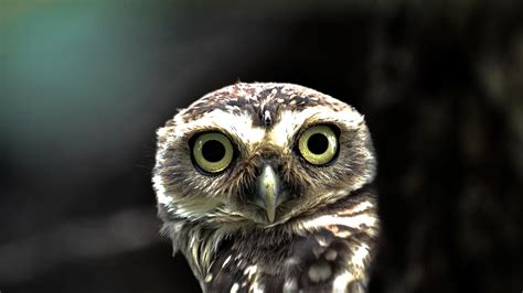 owl background owl wallpapers best wallpapers