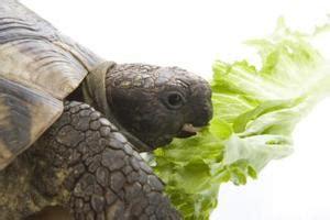 alimenti per tartarughe di terra quali alimenti altro pu 242 tartarughe mangiare oltre turtle