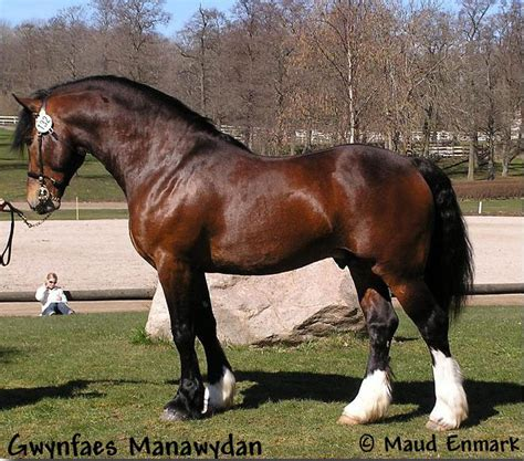 section d welsh cob welsh cob section d stallion gwynfaes manawydan