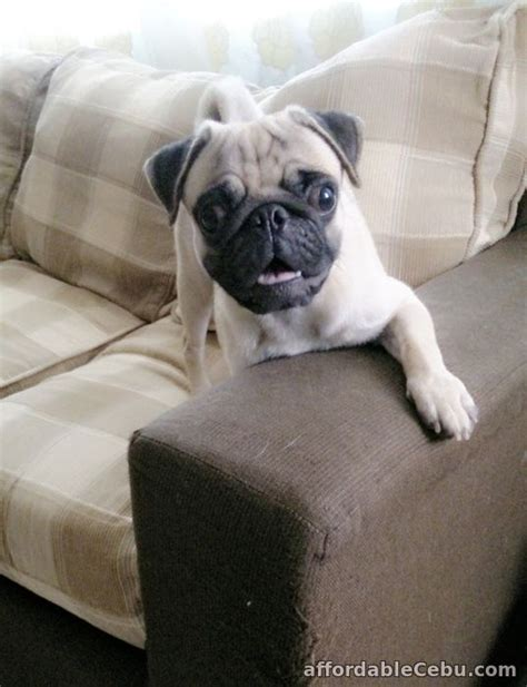 pug stud service stud service pug for sale talisay city cebu philippines 63626