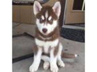 puppies for adoption spokane wa view ad alaskan husky puppy for sale washington spokane