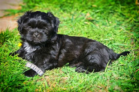 shih tzu boise puppies idaho falls and eastern idaho shih tzu puppies