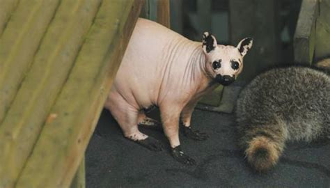 Hairless Bear Meme - these 15 animals without hair are barely recognizable
